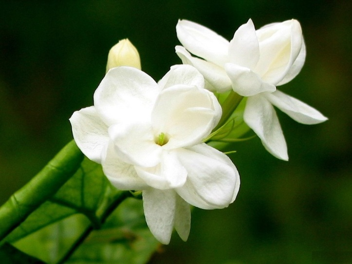 jasmine-flower-photos